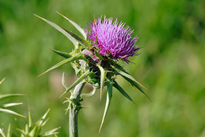 Silybum marianum flower head